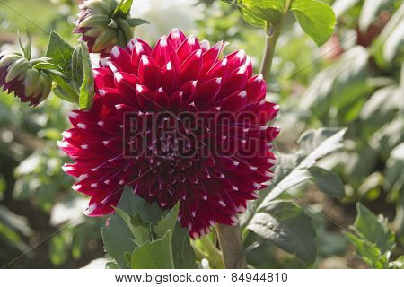 Close-up of a Dahlia flower in a garden, Gwalior, Madhya Pradesh, India