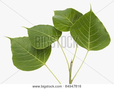 Close-up of pipal leaves