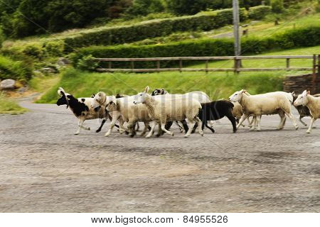Flock of sheep crossing the road, Ring Of Kerry, County Kerry, Republic of Ireland
