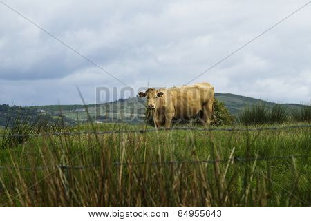 Cow standing on a hill, Killarney National Park, Killarney, County Kerry, Republic of Ireland