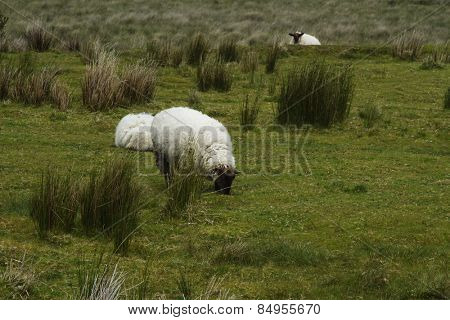 Three sheep grazing on a hill, Killarney National Park, Killarney, County Kerry, Republic of Ireland