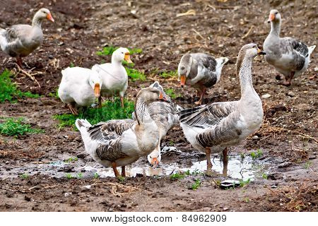 Geese gray on ground