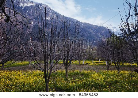Mustard fields with mountains in the background, Manali, Himachal Pradesh, India