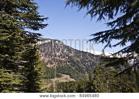 Trees in a forest with mountains in the background, Manali, Himachal Pradesh, India