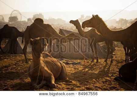 Camels at Pushkar Camel Fair, Pushkar, Ajmer, Rajasthan, India