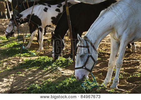 Horses feeding at Pushkar Camel Fair, Pushkar, Ajmer, Rajasthan, India