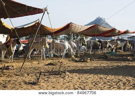 Horses at Pushkar Camel Fair, Pushkar, Ajmer, Rajasthan, India
