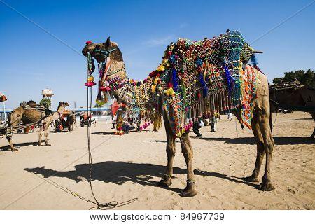 Decorated camel in Pushkar Camel Fair, Pushkar, Ajmer, Rajasthan, India