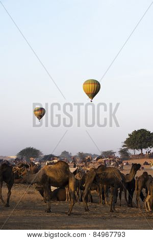 Camels with hot air balloons in the background in Pushkar Camel Fair, Pushkar, Ajmer, Rajasthan, India