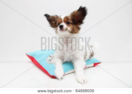 Dog Breed Papillon Lying On A Pillow