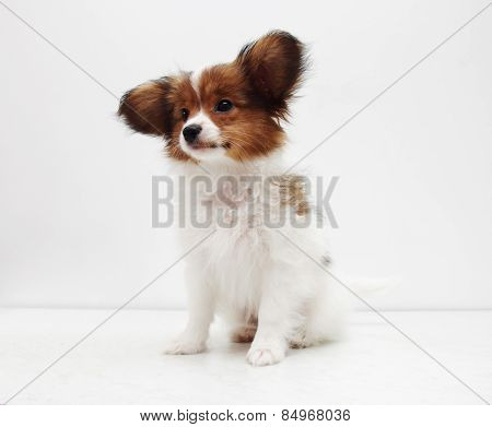 Dog Breed Papillon On A White Background