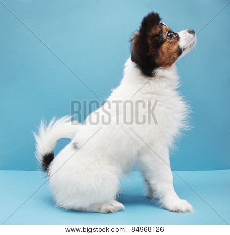 Dog Breed Papillon On A Blue Background