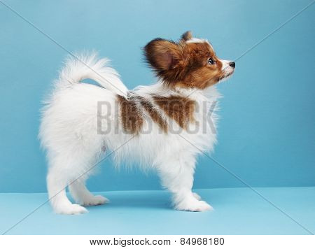 Dog Breed Papillon