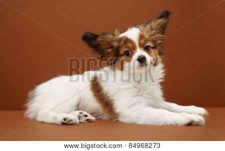 Dog Breed Papillon Lying