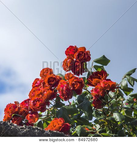 Close-up of flowers, Volterra, Province of Pisa, Tuscany, Italy