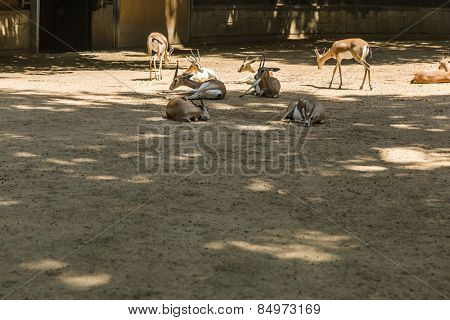 Gazelles in a zoo, Barcelona Zoo, Barcelona, Catalonia, Spain