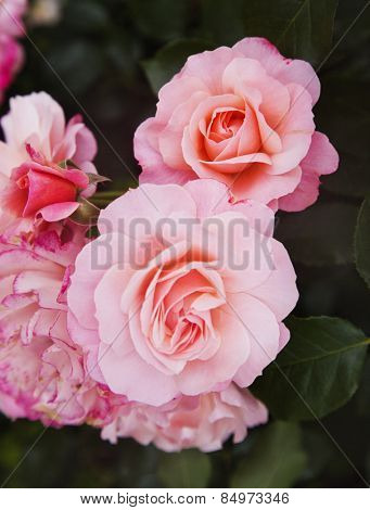 Close-up of rose flowers, Villa Cimbrone, Ravello, Province of Salerno, Campania, Italy