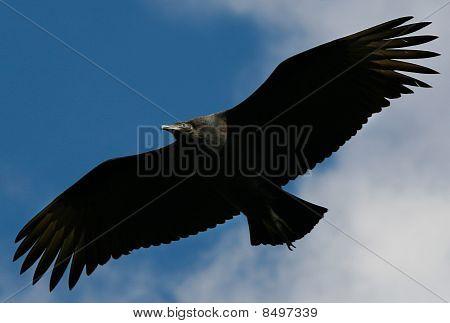 Black Vulture ( Coragyps atratus )