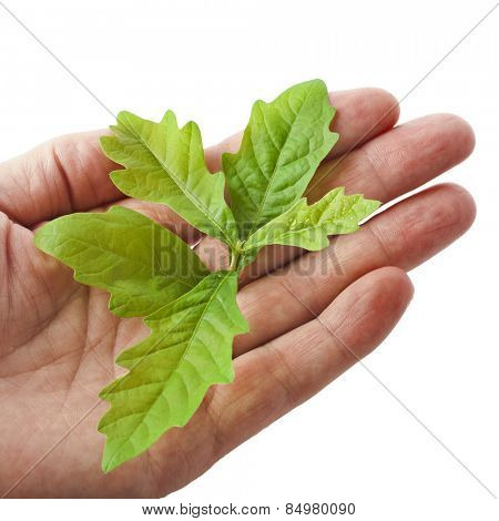 Hand holding sapling isolated on white background