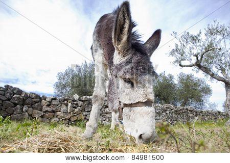 Donkey Grazing Closeup