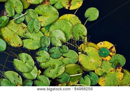 Water lily nymphaea leaves