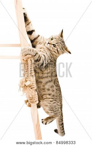 Funny kitten Scottish Straight climbing the wooden stairs