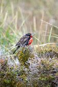 stock photo of meadowlark  - A side view of a long tailed meadowlark standing on a bush in a meadow in Punta Arenas Chile.
