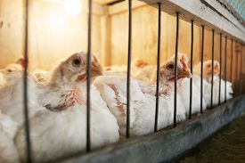 stock photo of hatcher  - A group of hens in a coop on a chicken farm - JPG
