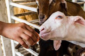 image of baby goat  - Goat farmer bottle feeds milk to a baby goat by hand - JPG