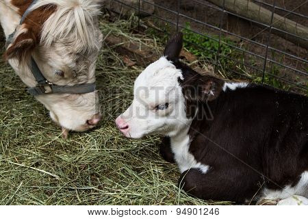 Close up of young calf and mother cow