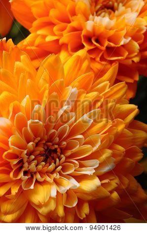 Macro Of Orange Aster Flower