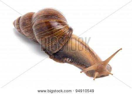 Image of crawling Achatina