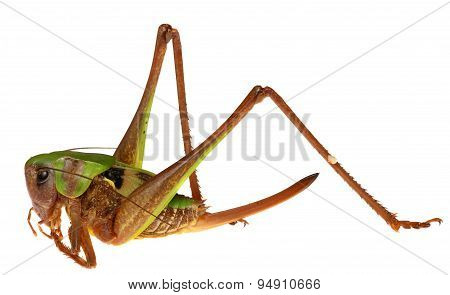 Grasshopper in front  isolated on white background.