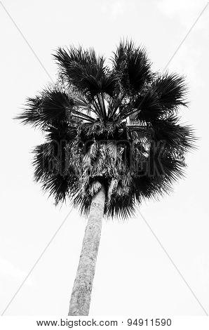 Black And White image of Sugar Palm Tree