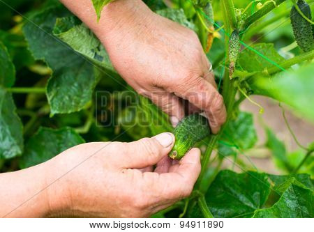 Hands Picking The Ripe Cucumber