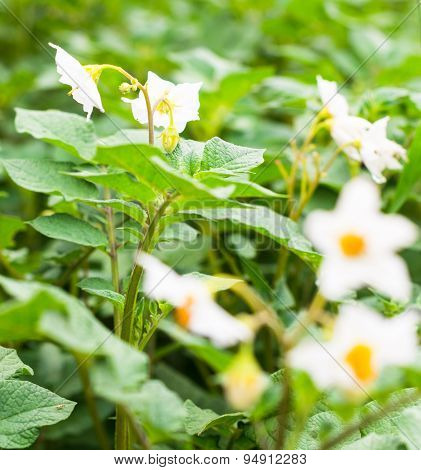 Blooming Potato Plants