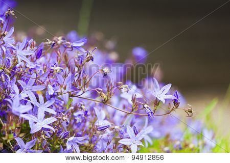 Vibrant purple campanula flower bed, selective focus