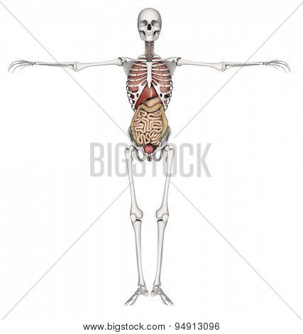 3D render of a skeleton with internal organs exposed