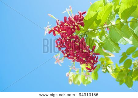 Quisqualis Indica Or Chinese Honeysuckle With Blue Sky