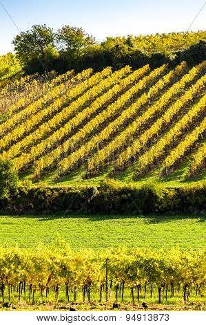 autumnal vineyards near Falkenstein, Lower Austria, Austria