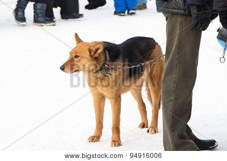 Photo of red color mongrel dog