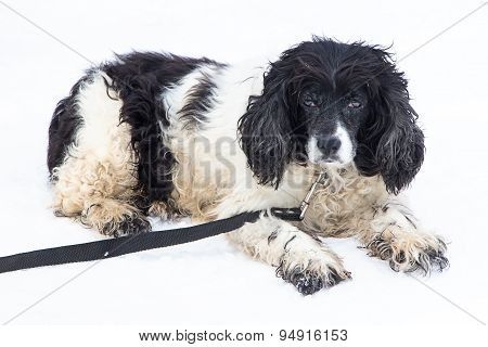 Image of black and white mongrel dog