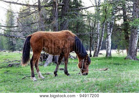 Young Horse Grazing