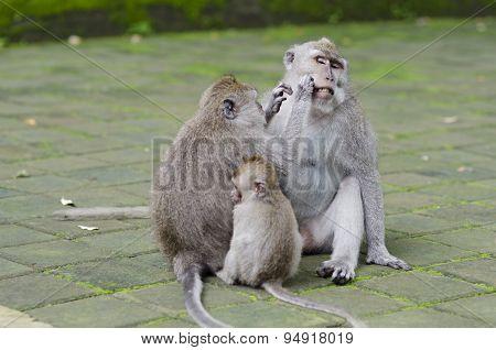 Exotic Asian Animals. Cute Monkeys Family. Wildlife Bali, Indonesia