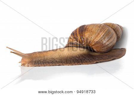Photo of Achatina - full length