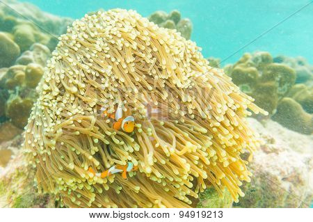 Clown Anemonefish, Amphiprion Percula, Swimming Among The Tentacles