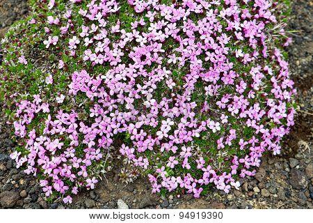 Purple flowers in Iceland