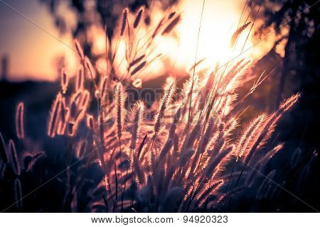 Pennisetum Flower In Late Afternoon Sunlight