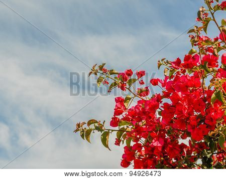 Red Bougainvillea Flower In The Sky Of Cyprus