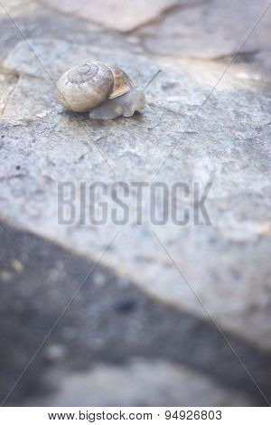 Snail In Shell On Stone